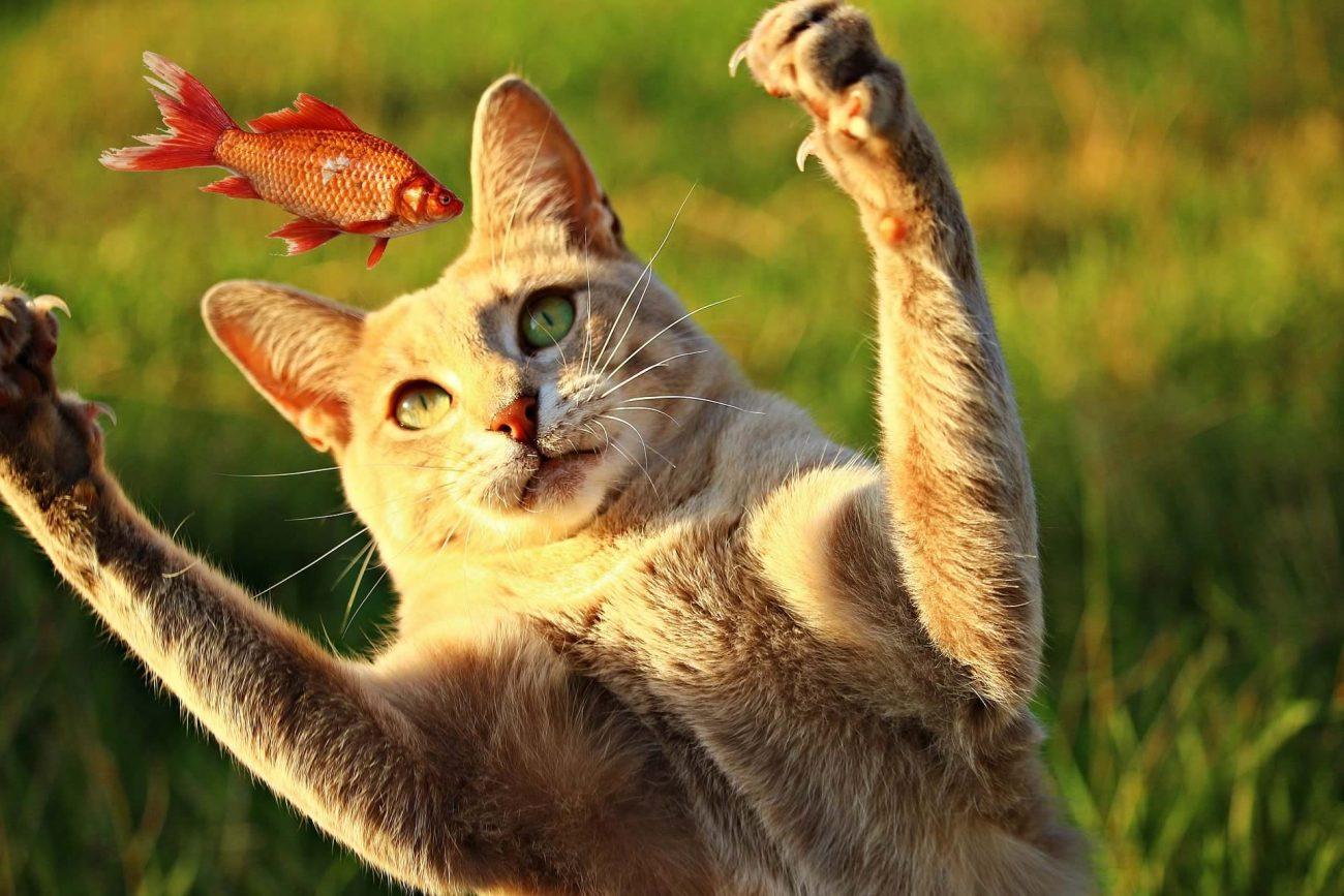 Chat attrape un poisson rouge qui vole
